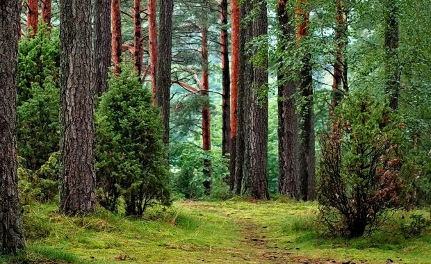 A forest of tall trees with grass and lucious foliage on the forest floor. Green computing helps save forests.